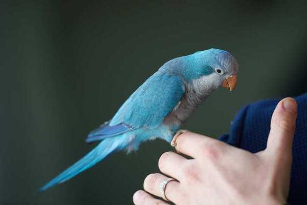 синий калита квакер на пальце