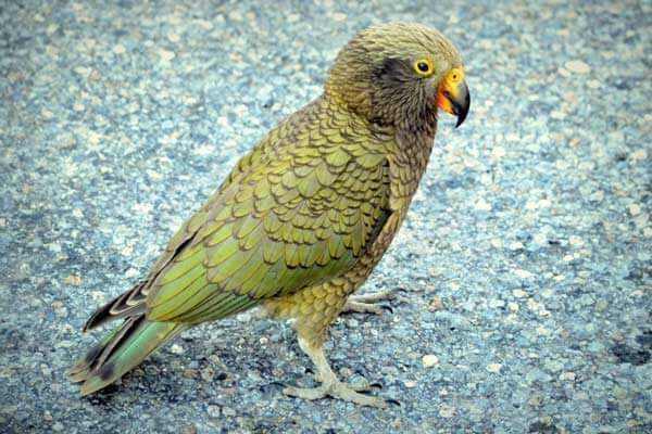 кеа попугай