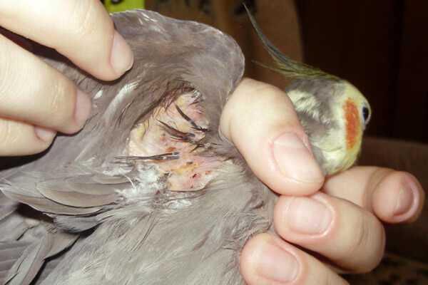 у кореллы нимфы выпадают перья под крыльями
