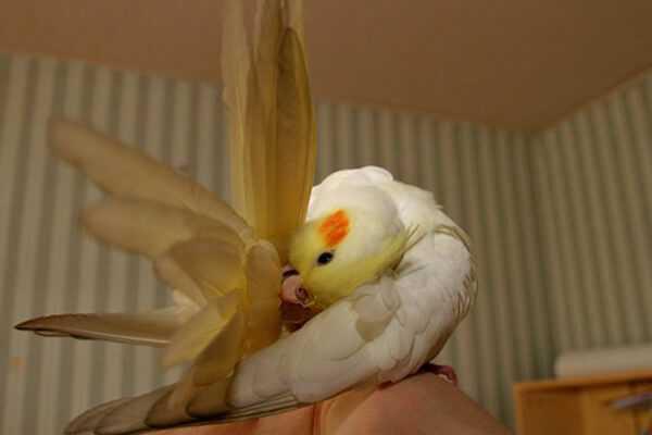 корелла выщипывает перья