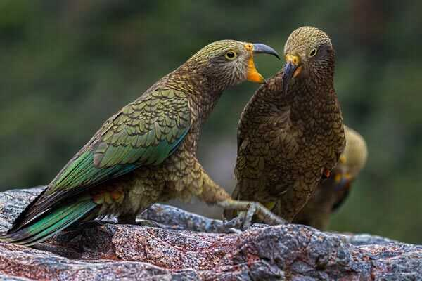 молодые кеа попугаи