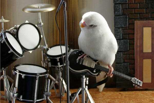 Пение и чириканье волнистых попугаев: слушать и смотреть видео