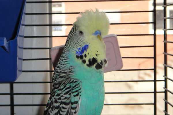 чешский попугай
