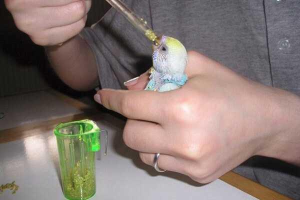 фото как давать гамавит волнистому попугаю