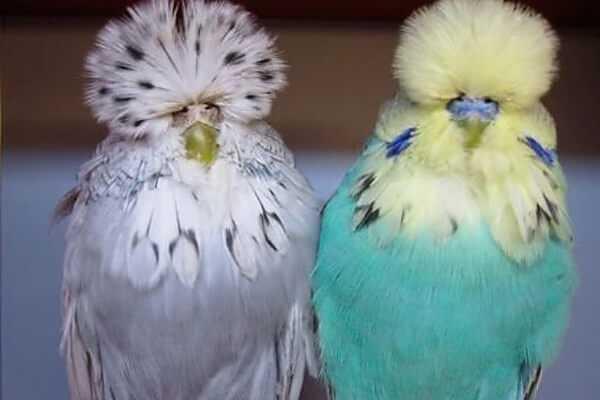 попугаи чехи