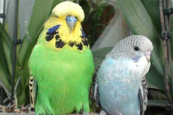 отличие попугая чеха от волнистого