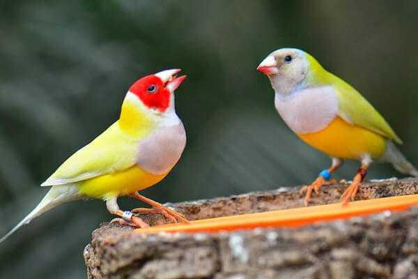 Амадины: виды, содержание, уход, сколько живут птицы
