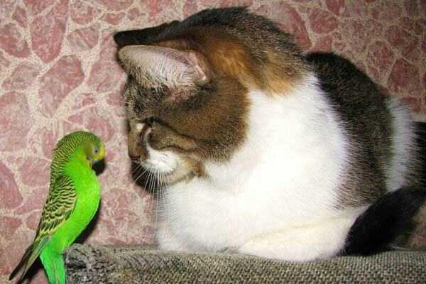Кот и попугай: как научить их жить дружно