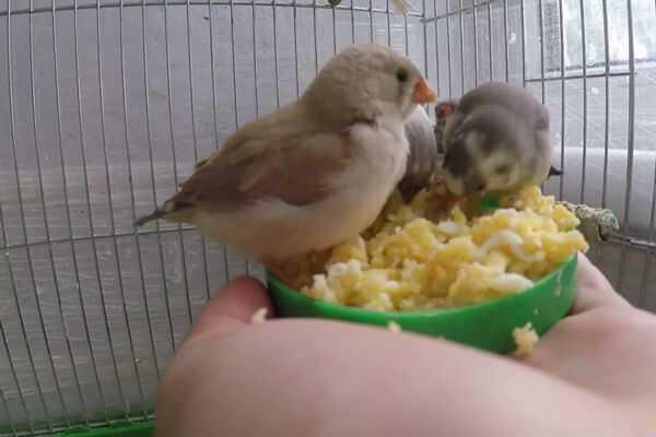 фото кормления птенцов амадин