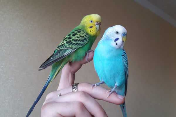 Как приучить волнистого попугая к рукам: мальчика и девочку