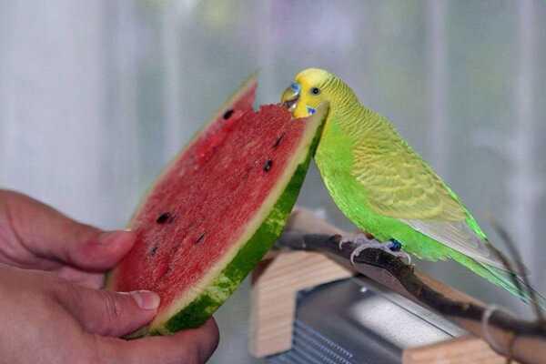 Можно ли давать попугаю арбуз и как это делать